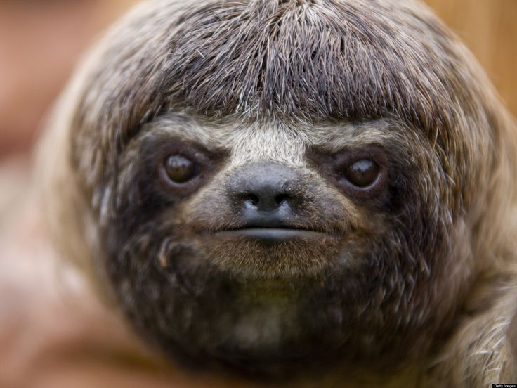 Drawn sloth president Sloths Pinterest images on