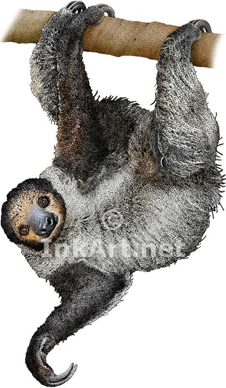 Drawn sloth three toed sloth Sloth Southern  didactylus) Toed