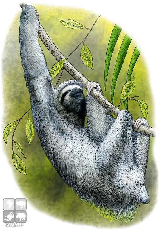 Drawn sloth three toed sloth Color illustration Art Toed Sloth