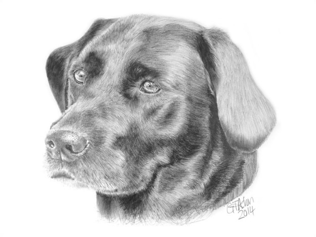 Drawn smokey pencil drawing Archives Labrador Black – Garry's