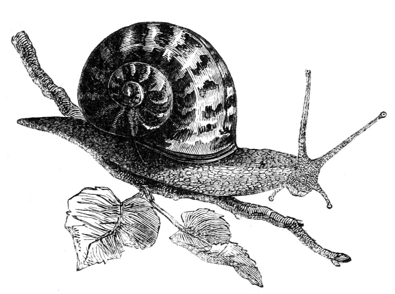 Drawn snail garden snail Snail png Mollusca History Garden