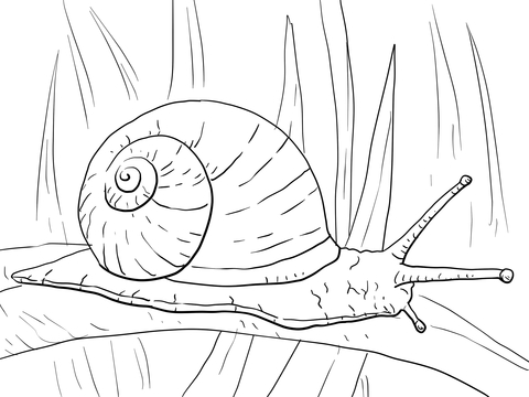 Drawn snail garden snail Garden of see Snail page
