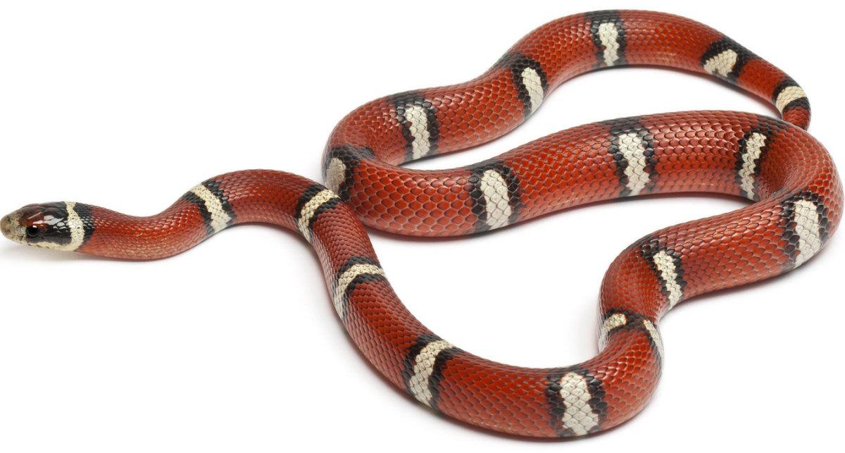 Drawn snake coral snake Milk Images: Milk Snake Source: