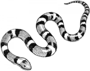 Drawn snake coral snake March 23  23 March