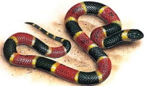 Drawn snake coral snake Snakes Coral Snake The Venomous
