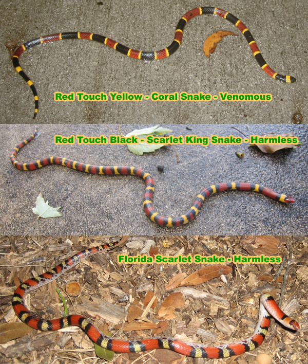 Drawn snake coral snake The Jack touch safe Red