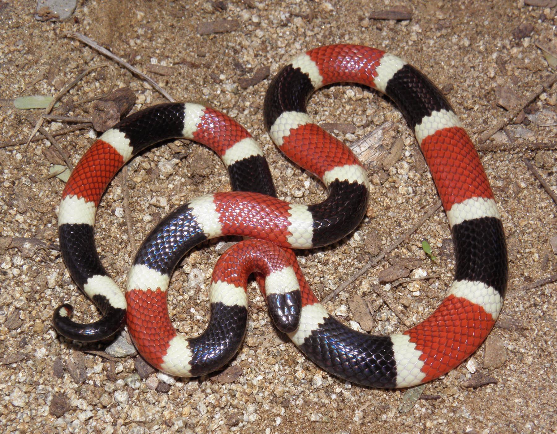 Drawn snake coral snake Download Snake #17 Coral Snake