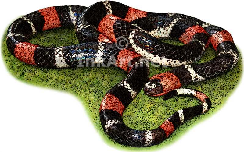 Drawn snake coral snake Ribbon snake Illustration color Art