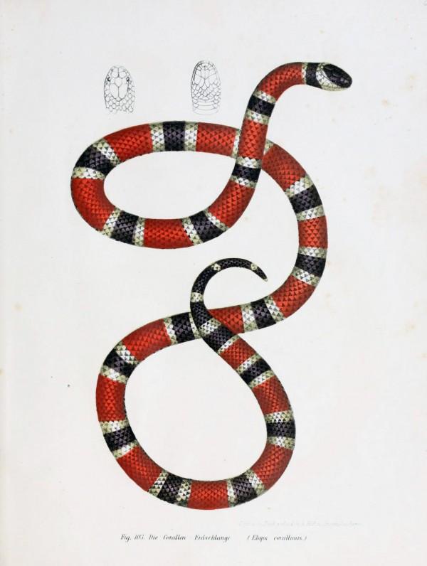 Drawn snake coral snake Snake illustration  design blog