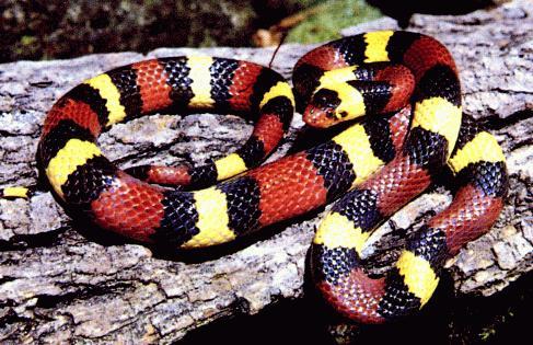 Drawn snake coral snake King Snakes Snake Scarlet