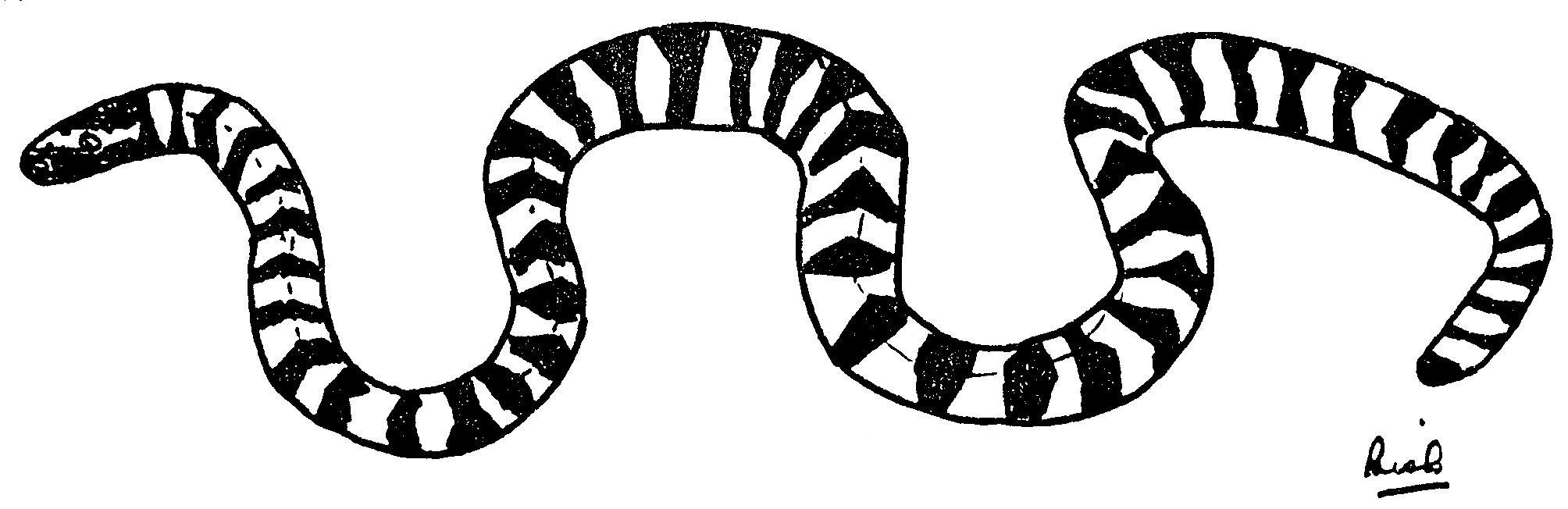 Drawn snake long snake Ali only whitish cm of