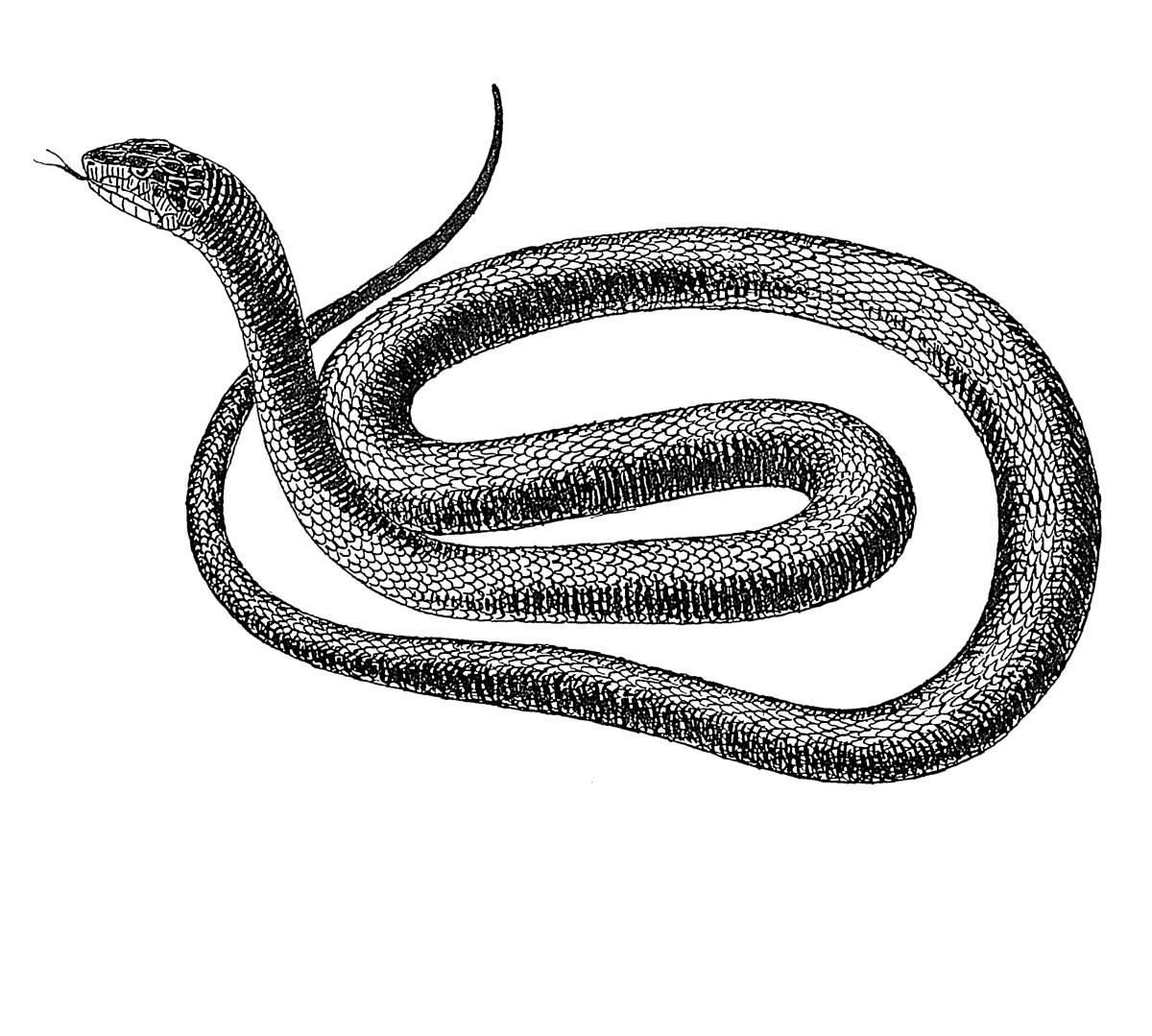 Drawn snake long snake Lac  Mithradates Fond of