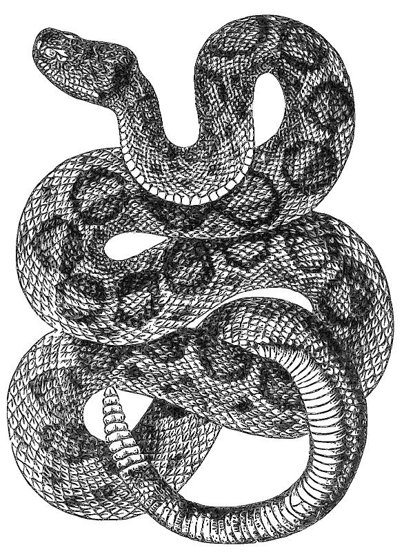 Drawn snake rattlesnake /rattlesnake_drawing html png rattlesnake rattlesnake