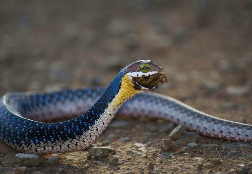 Drawn snake rear fanged Typus) Boomslang (Dispholidus arboreal of
