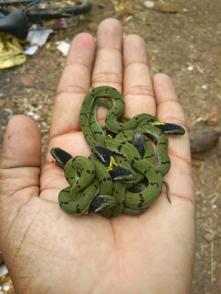 Drawn snake rear fanged Green of juvenile a plumbicolor)