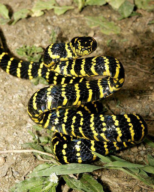 Drawn snake rear fanged The snake on (Boiga Pinterest