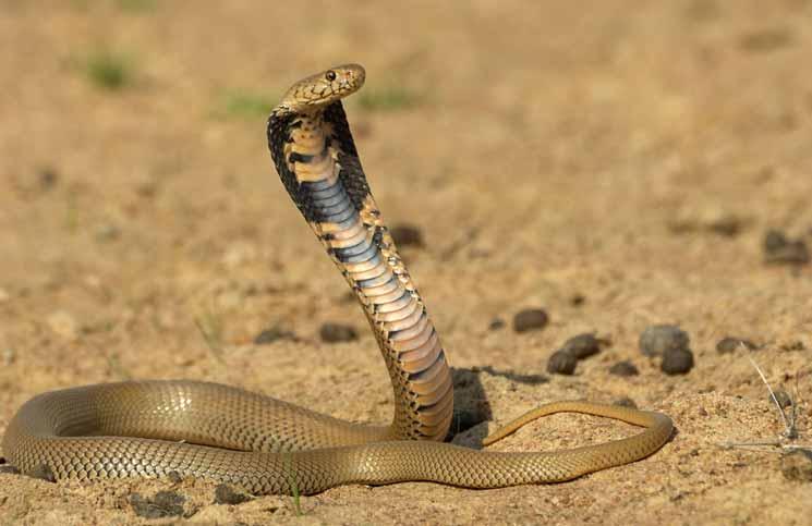 Drawn snake spitting cobra That of terrified Pregnant neighborhood