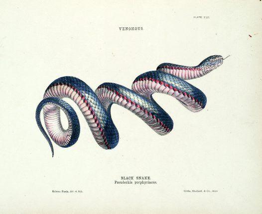 Drawn snake vintage Images on illustration Illustration Snake