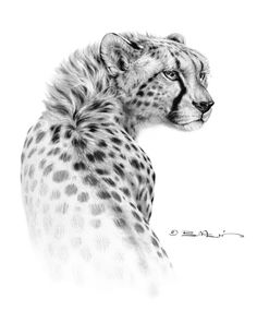 Drawn snow graphite Bill  wildlife Rhodes by