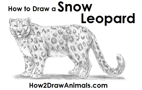 Drawn snow leopard Leopard Draw jpg how draw