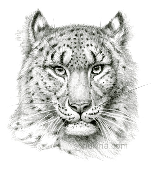 Drawn snow leopard Sketch Snow Wallpaper Drawn portrait