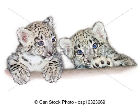 Drawn snow leopard baby Leopard of (Uncia babies Stock