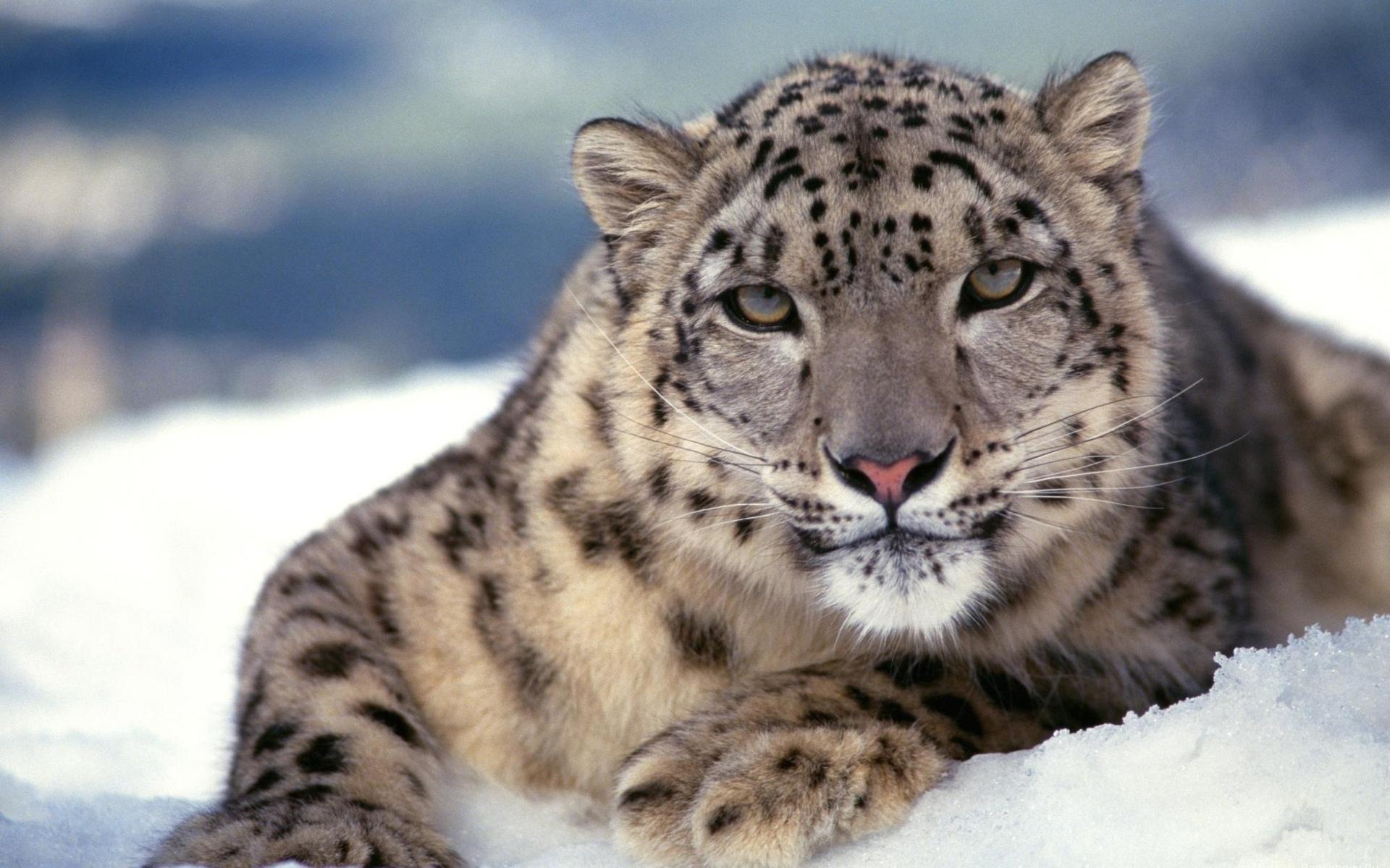 Drawn snow leopard baby Carrie Wallpaper Drawn HTML WallpaperSafari