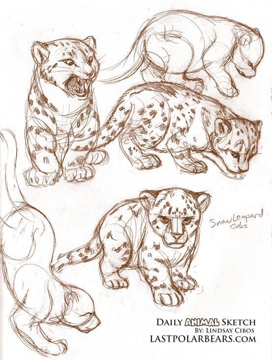 Drawn snow leopard baby And Sketches ideas Daily_Animal_Sketch_002 Draw