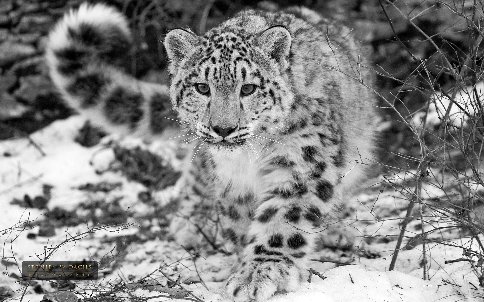 Drawn snow leopard baby Wallpaper Drawing  from Snow