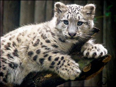 Drawn snow leopard baby Leopard Leopard Baby Drawing Snow