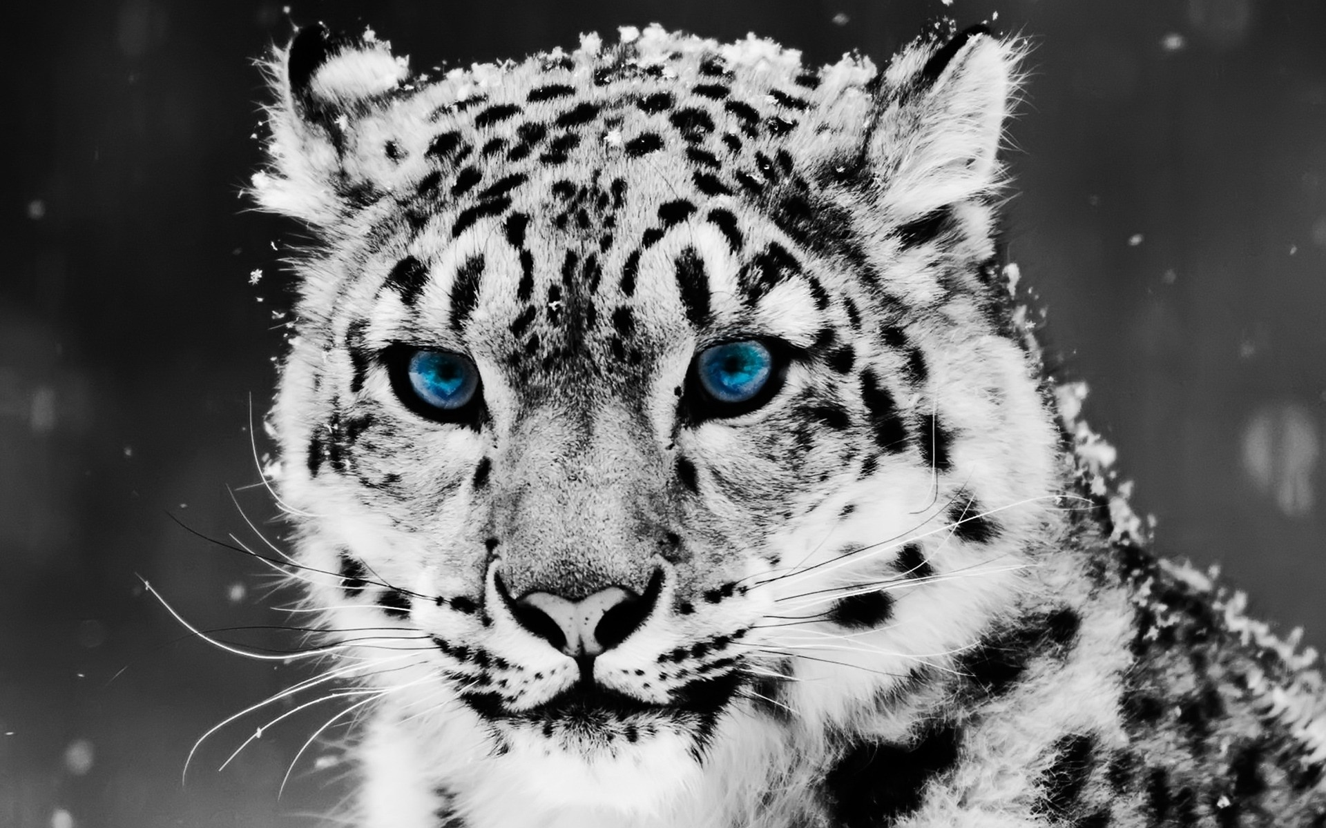 Drawn snow leopard blue eyed Snow Blue with Snow Wallpaper: