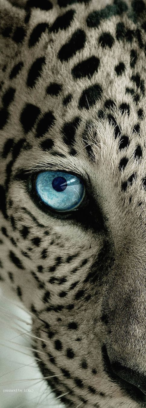 Drawn snow leopard blue eyed Pictures Pinterest Snow great leopard