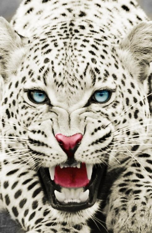 Drawn snow leopard blue eyed Photoshopped leopard yellow Not been