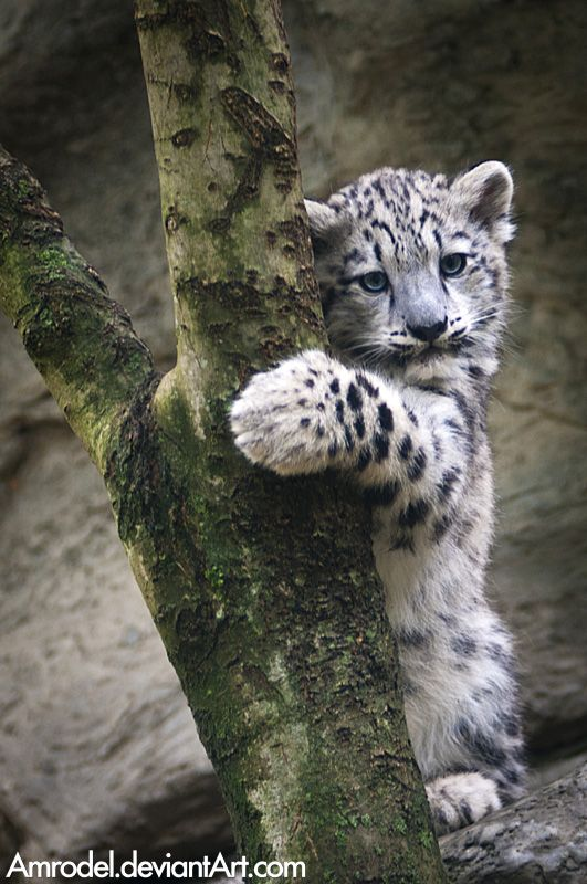 Drawn snow leopard blue eyed Or raise and I me