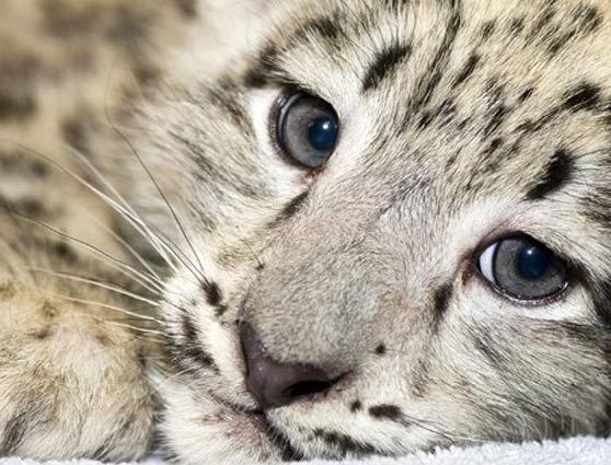 Drawn snow leopard blue eyed Times: new Image snow name