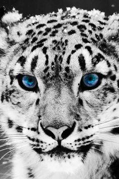 Drawn snow leopard blue eyed Baby tattoo A with blue