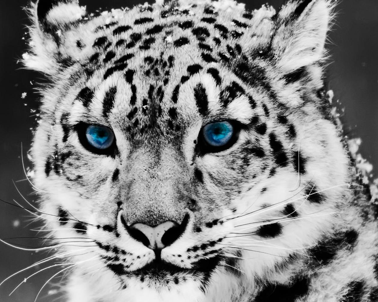 Drawn snow leopard blue eyed Blue With Snow Blue White