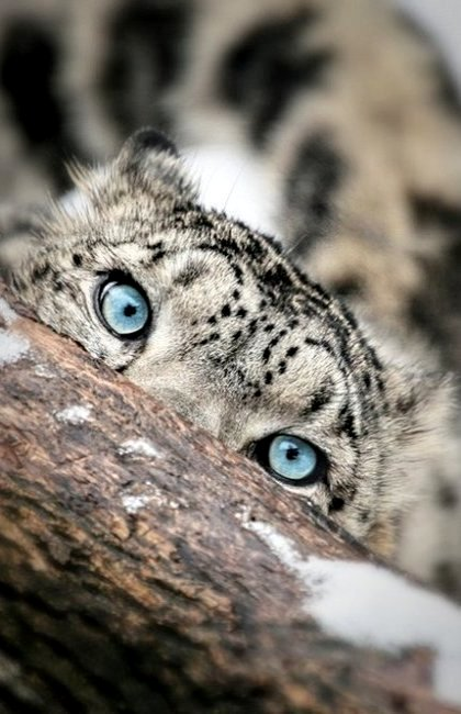 Drawn snow leopard blue eyed The and Leopard I but