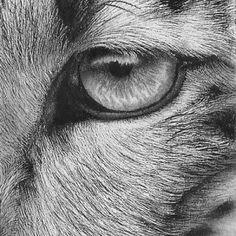 Drawn snow leopard eye Leopard  Pinterest Original Left