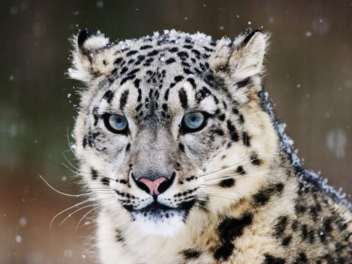 Drawn snow leopard eye Snow doing because so have