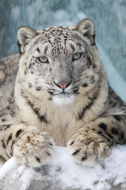 Drawn snow leopard fur Cats Literally on Just Who