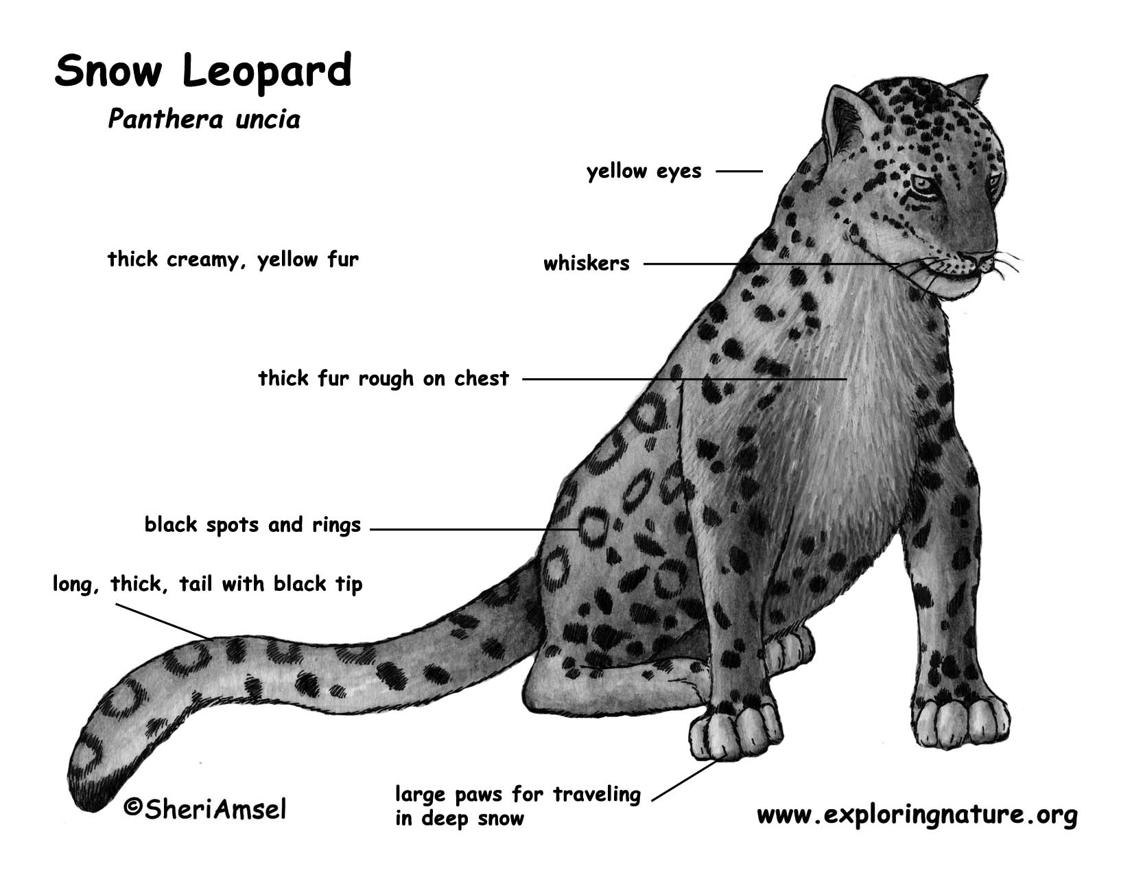 Drawn snow leopard fur Diagram Download Hi Poster Color