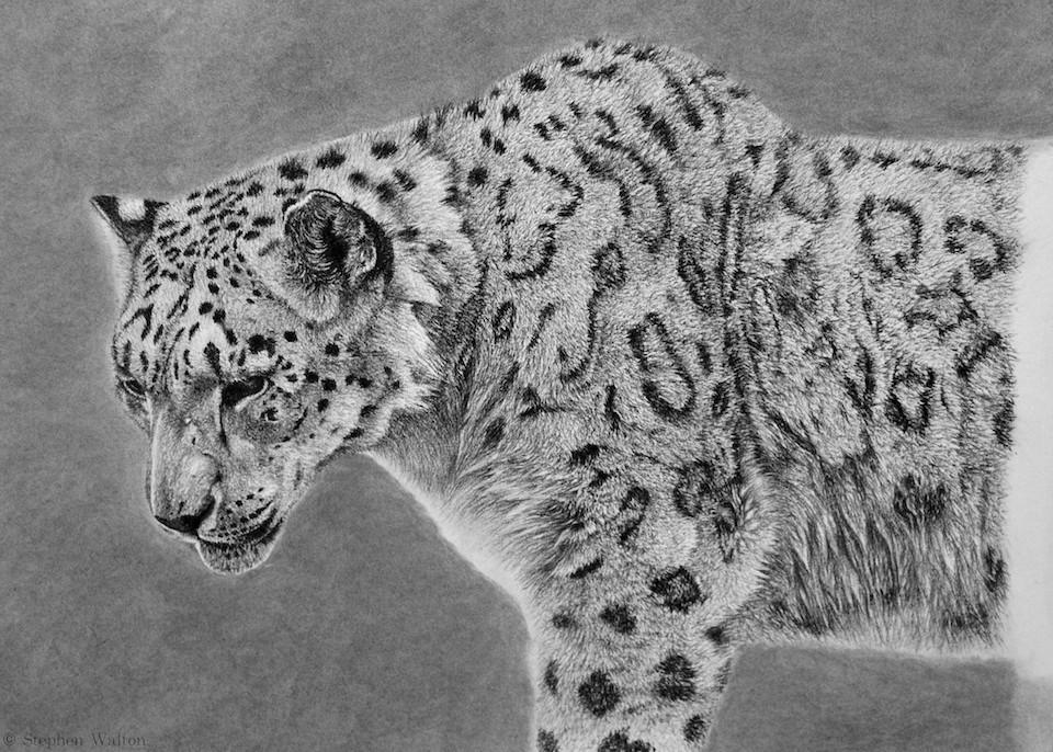 Drawn snow leopard fur Photo#13 Snow leopard Fur fur
