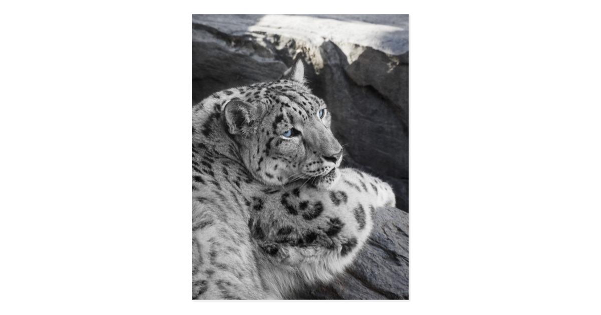 Drawn snow leopard ice Icy Stare Snow Zazzle Leopard