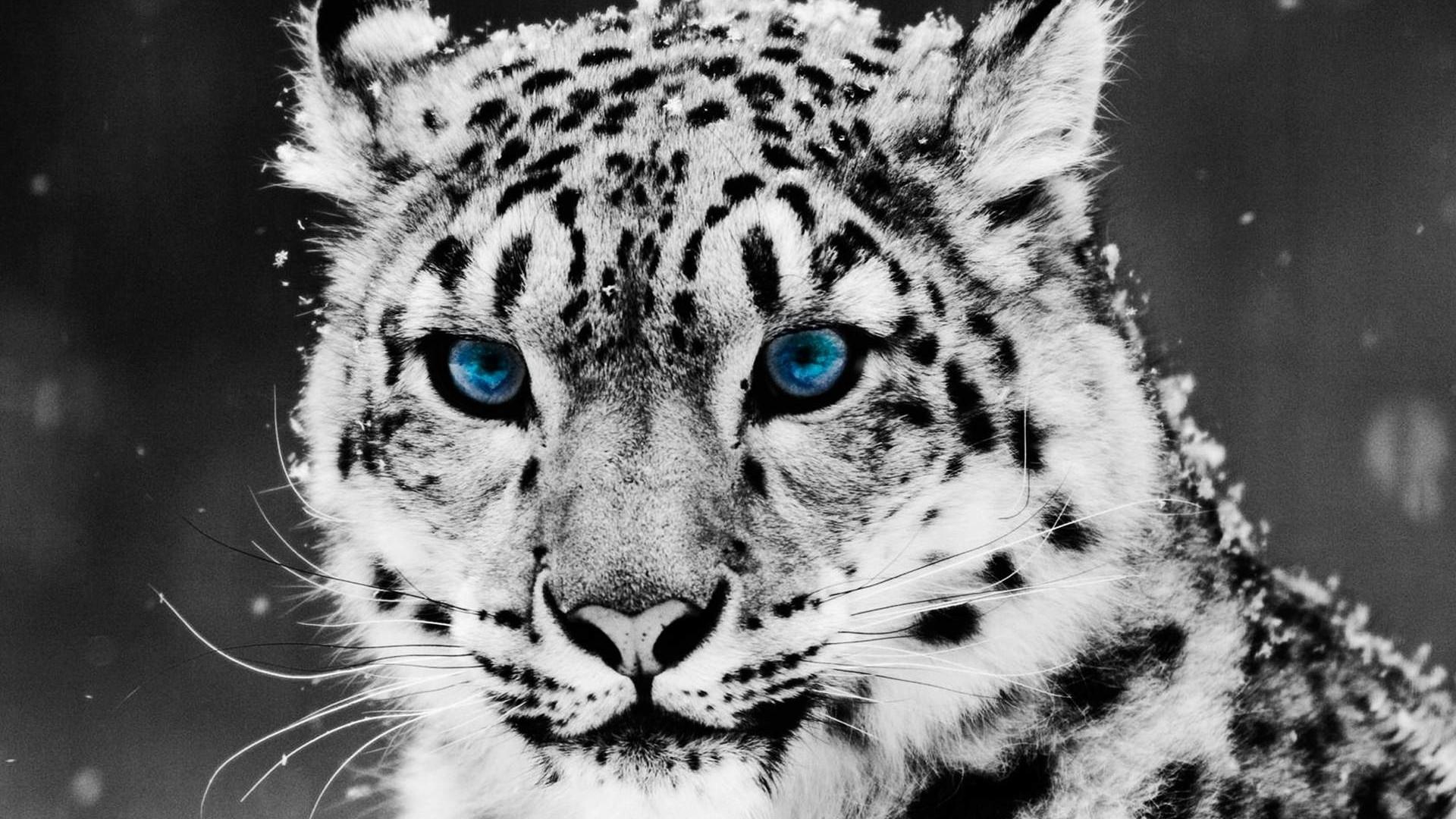 Drawn snow walpaper Leopard WallpaperSafari Contribute to Story:Download