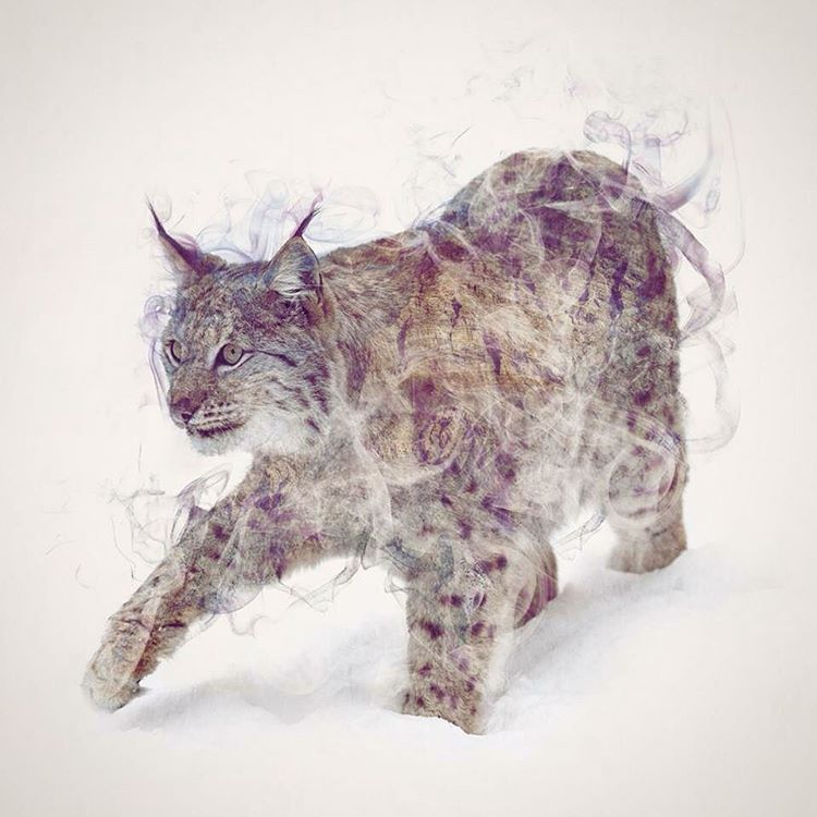 Drawn snow leopard lynx Favourite One cats One Lynx