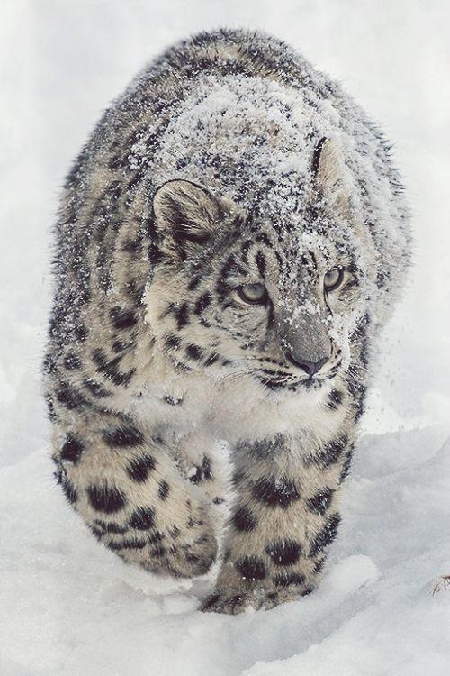 Drawn snow leopard lynx Ideas on Best Snow Snow