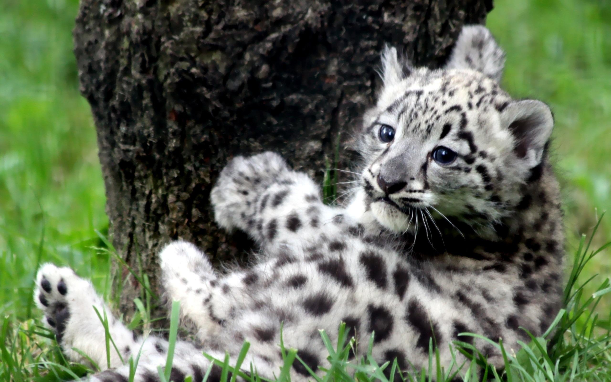 Drawn snow leopard lynx Wallpaper  Baby Leopard Baby