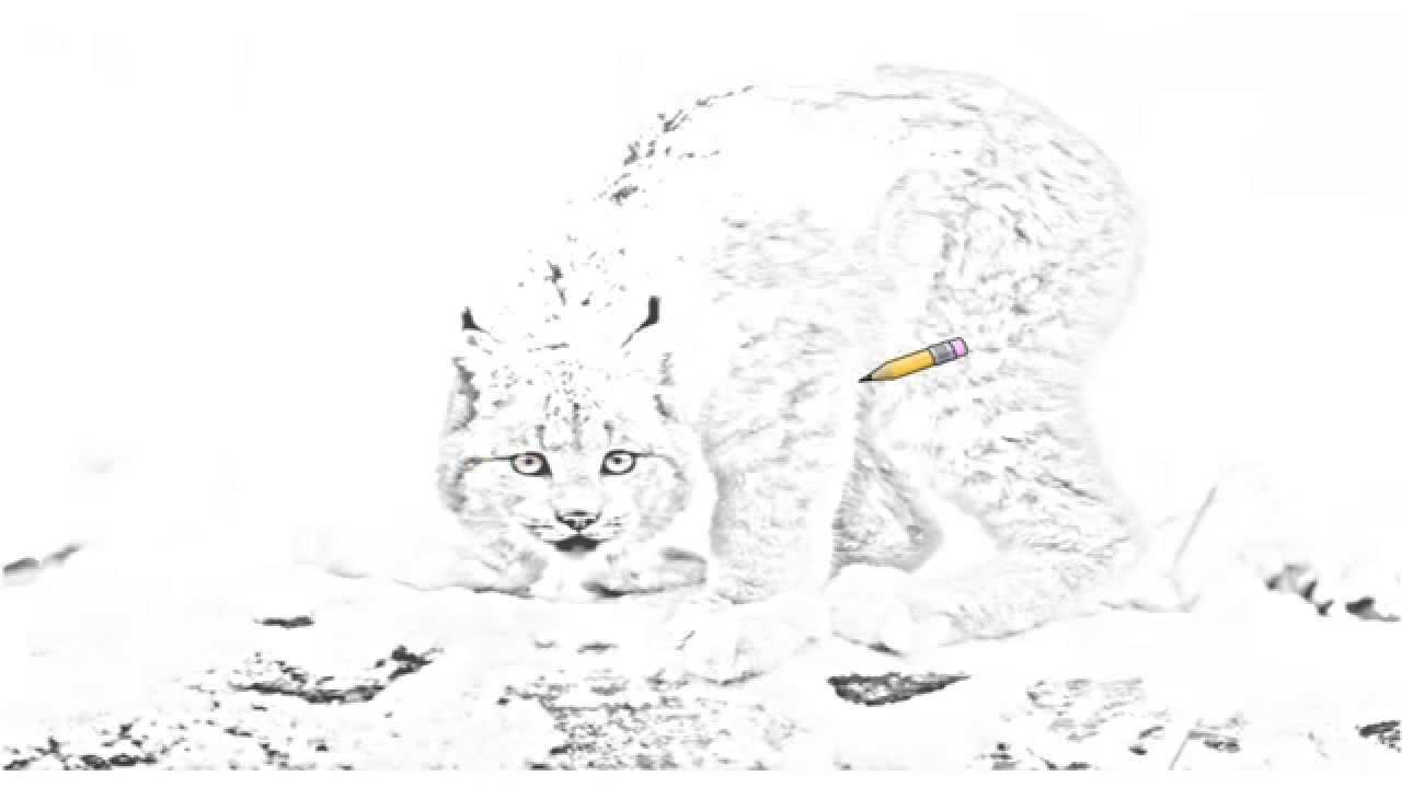 Drawn snow leopard lynx YouTube Canada Auto Canadian British