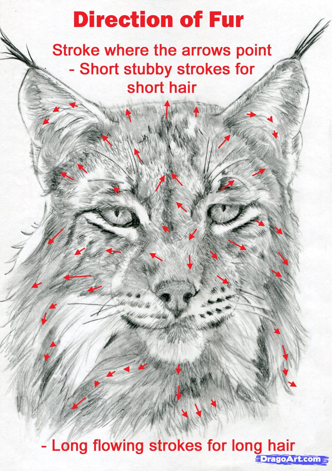 Drawn snow leopard lynx Realistic to step realistic a